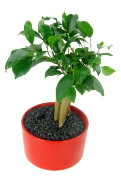 Fiscus Bonsai Red Cylinder  - Standard
