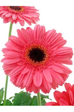 Glorious Gerbera Plant - Standard