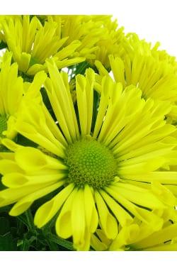 Yellow Chrysanthemum Tea Cup - Standard