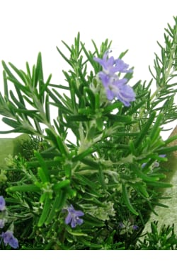 Perfect Pick Rosemary Plant - Standard