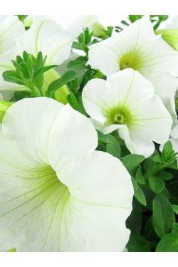 Plucky Petunia Plant - Standard