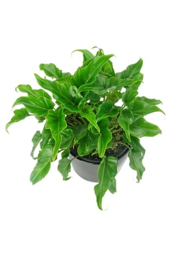 Fantastic Philodendron - Standard