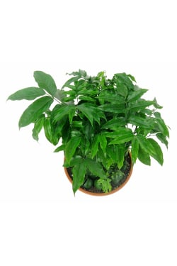 Magic Bean Potted Plant - Standard