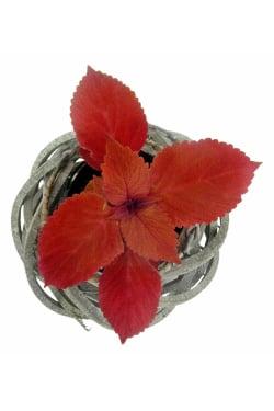 Crimson Coleus Plant - Standard
