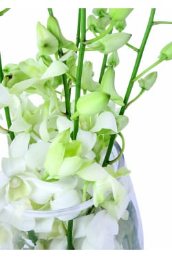 Christmas Orchids - Standard