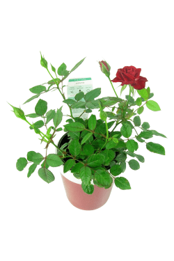 Red Ceramic Potted Rose - Standard