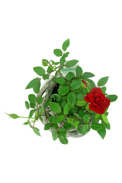 Rose In Cane Basket - Standard