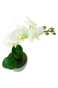 Exotic Orchids - Standard