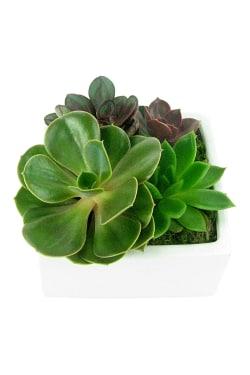 Lush Patch Succulent Garden - Standard