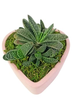 Love To You Succulents - Standard