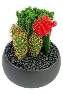 Cacti in Ceramic Pot - Standard