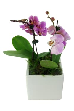 Exotic Drama Orchids - Standard