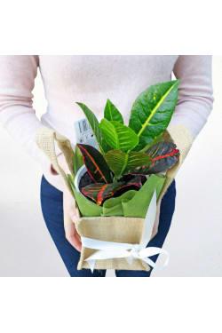 Magical Mini Croton - Standard