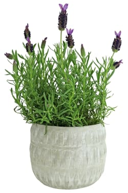 Country  Lavender - Standard