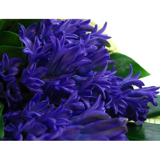 Little Flowers - Hyacinth - Standard