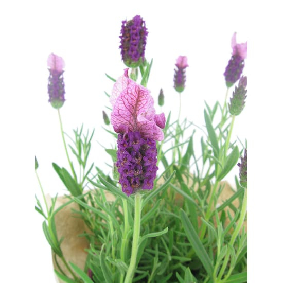 Lavender - Standard