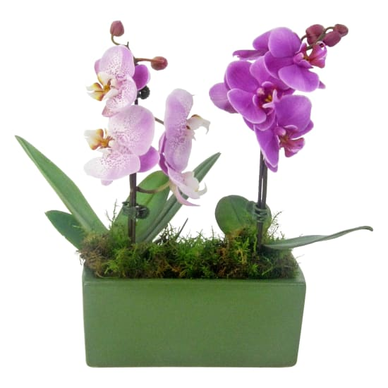 Tropical Touch Orchids - Standard