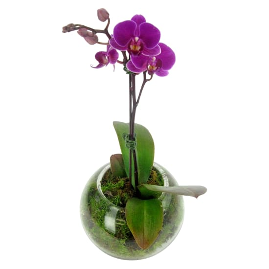 Orchid Fishbowl - Pink - Standard