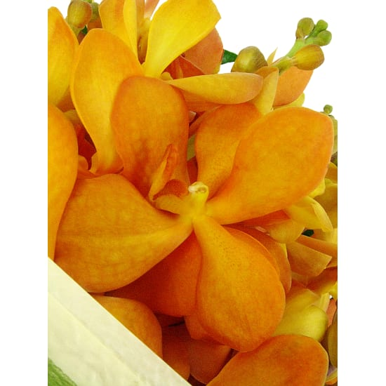 Orchids - Standard
