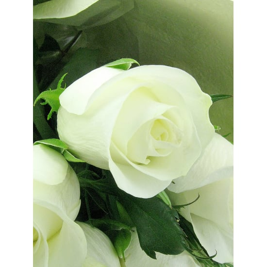 White Roses - 12 Roses (One Dozen)