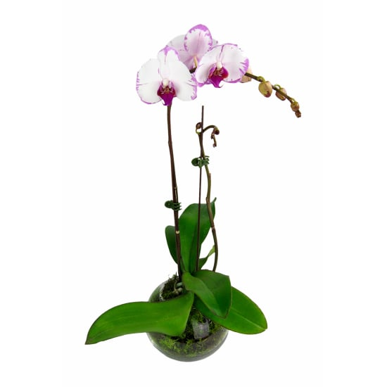 Living Phalaenopsis Orchid - Standard