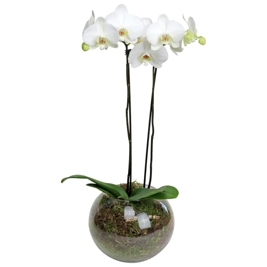 Orchids Two - Fish Bowl - Standard