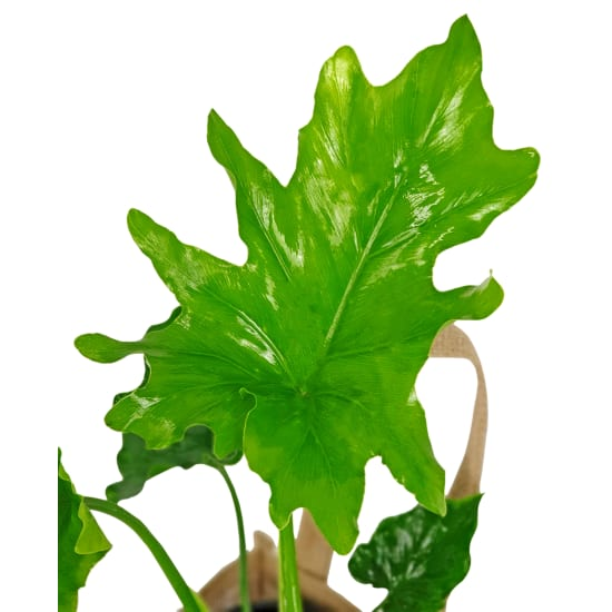 Fabulous Philodendron  - Standard