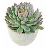 Geometric Succulent
