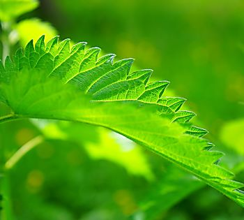 6 Proven Health Benefits of Stinging Nettle