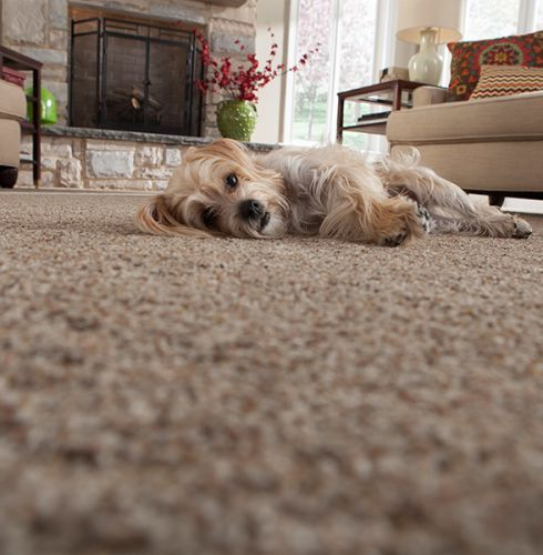 Pet friendly carpet in Purcellville VA from Loudoun Valley Floors