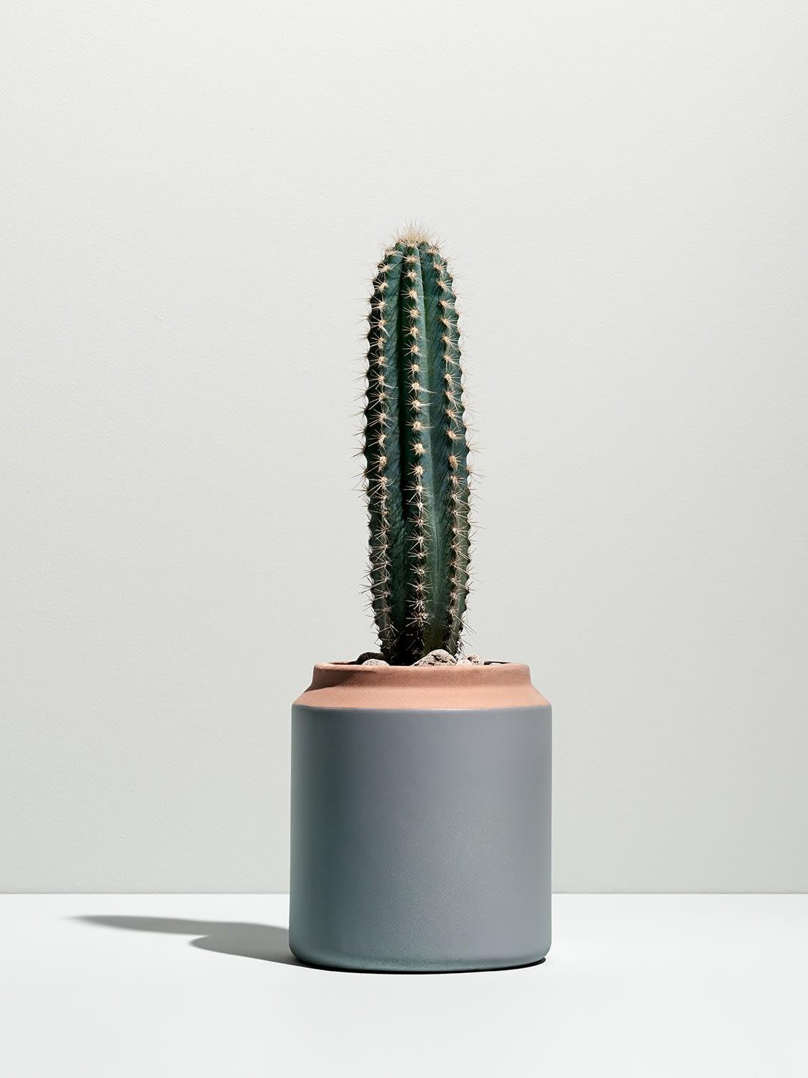 An erect cactus