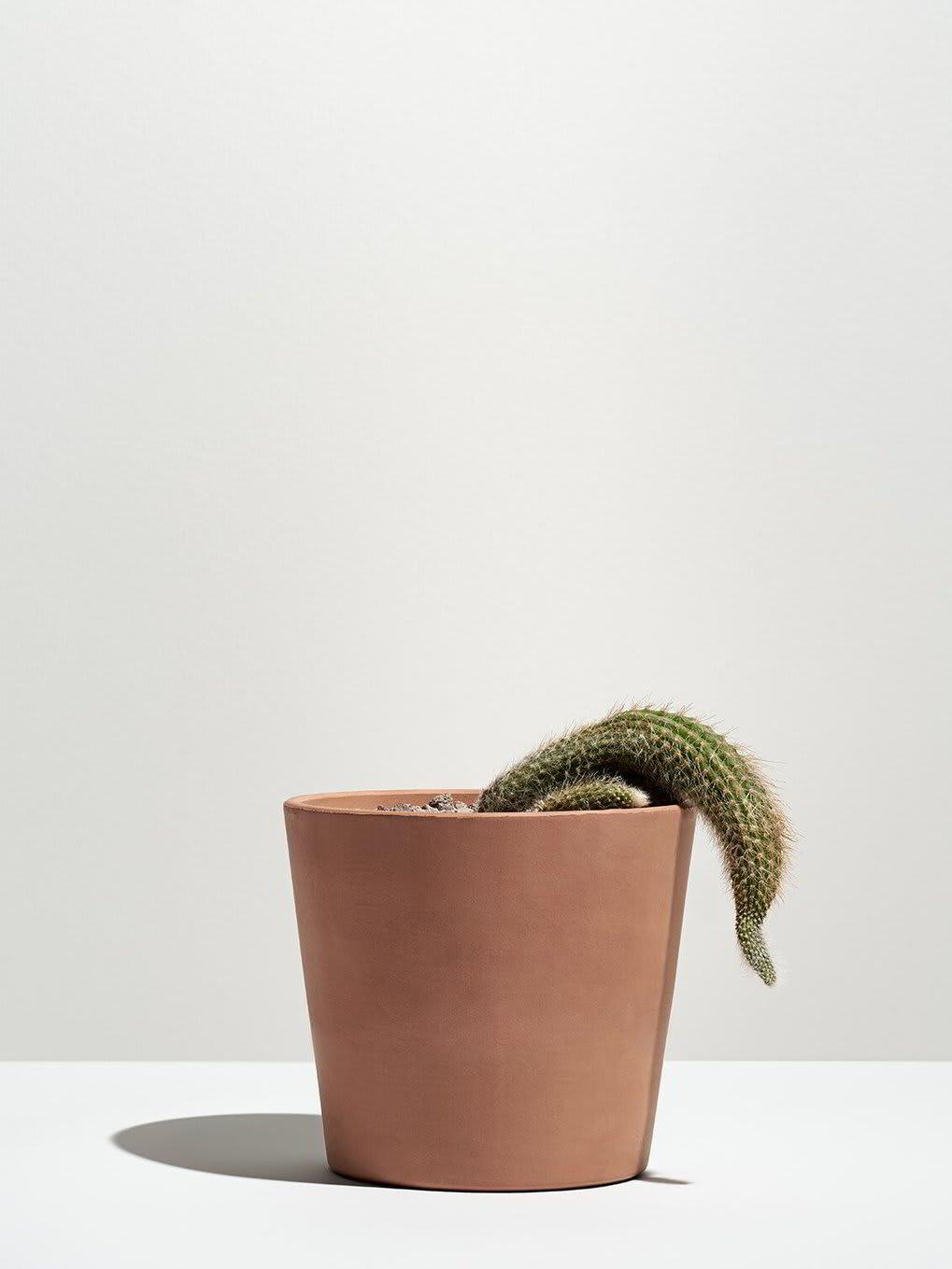 A wilting cactus