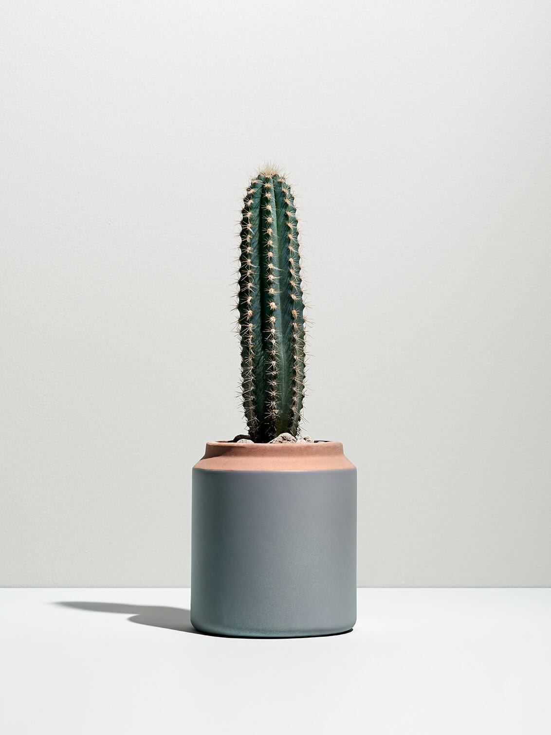 An upright cactus in a grey flower pot