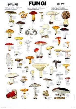 Sopp. Plansje over våre beste matsopper og giftige sopper. 70 cm bred, 100 cm høy, med metallskinner