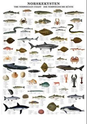 Norskekysten. Plansje med de vanligste artene fisk og skalldyr. 70 cm høy, 100 cm bred, med metallskinner