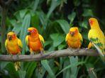 Racikan Khusus Pakan Burung Lovebird Agar Ngekek Panjang dan Juara