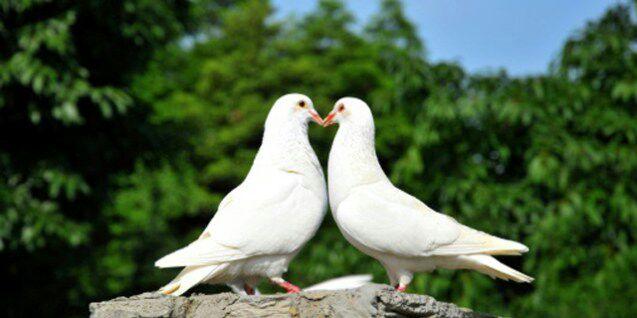 Mengenal Keunikan Karakter Burung Merpati