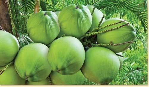 Manfaat Minum Air kelapa Untuk Tubuh