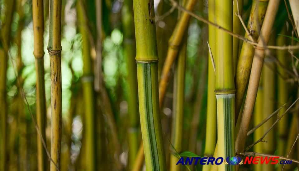 Cara Membengkokan Atau Meluruskan Bambu