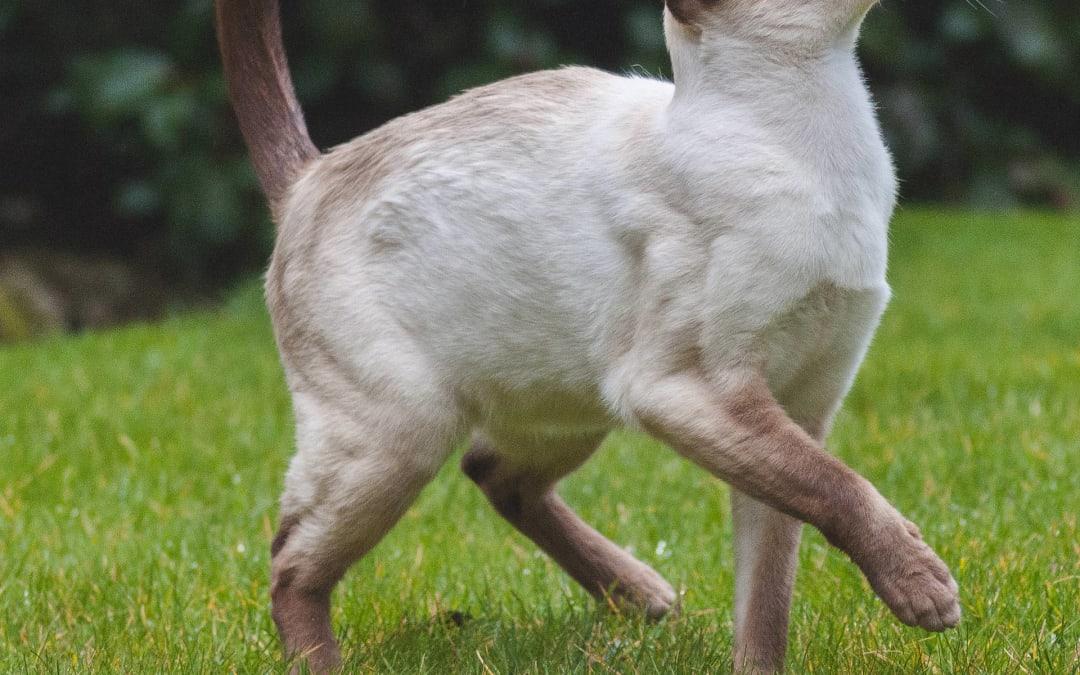cat portrait – Siamese patrol