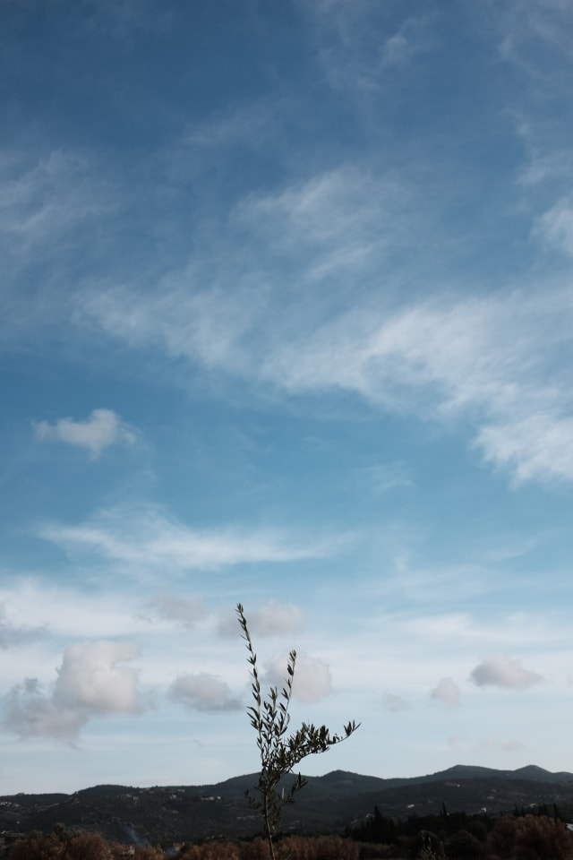An olive tree sapling amidst a blue and partly cloudy sky.
