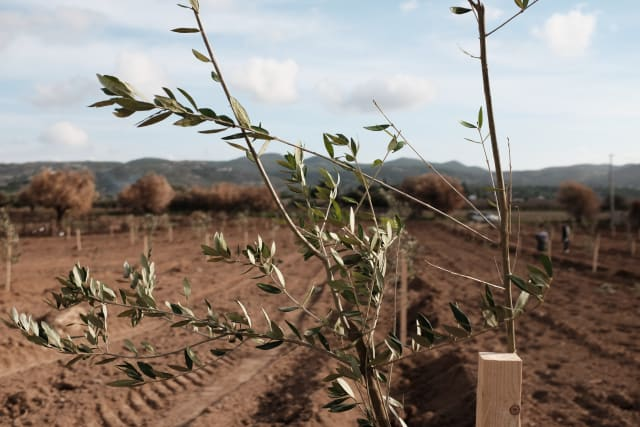 An olive tree sapling, supported by a trellis. A field of saplings is in the background. Further yet, some dried or burnt out olive trees.