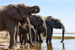 Elephants drinking, Chobe National Park