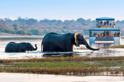 Elephants crossing the Chobe River