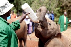 Daphne Sheldrick Elephant Orphanage
