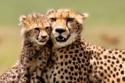 Cheetahs, Masai Mara