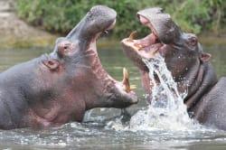 Hippos, Masai Mara