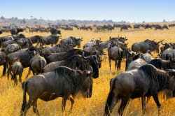Migrating wildebeest, Masai Mara