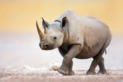 Black rhino, Etosha