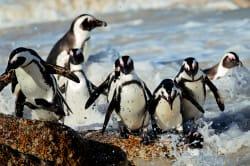 African jackass penguins, Boulders Beach, Cape Town
